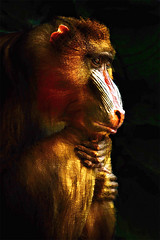 Old World Mandrill