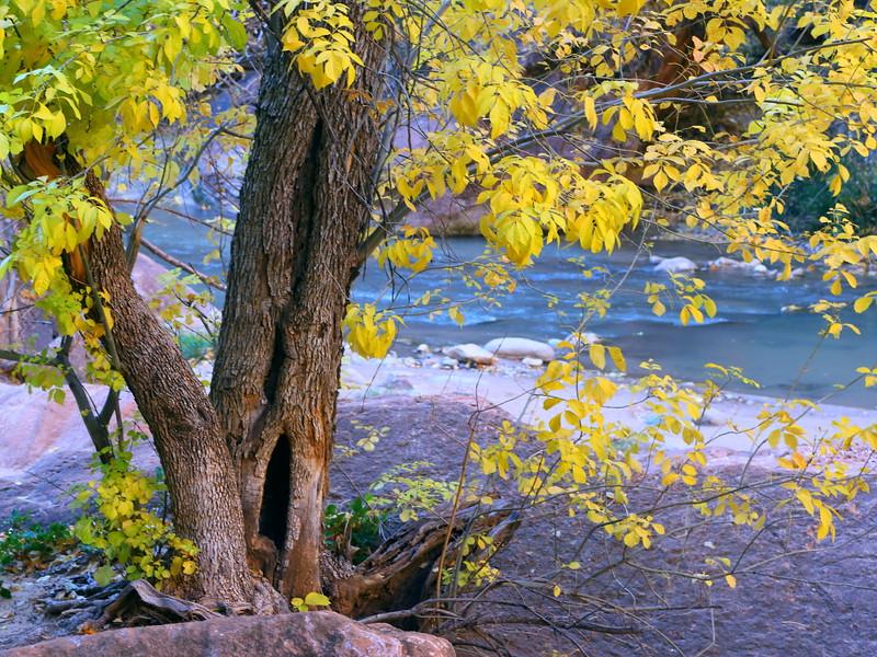 IMG_9640 Fremont Cottonwood Tree