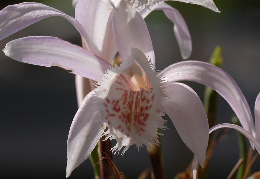 Pleinoe hibrid