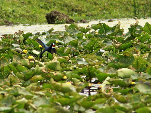 Purple Gallinule 20190212