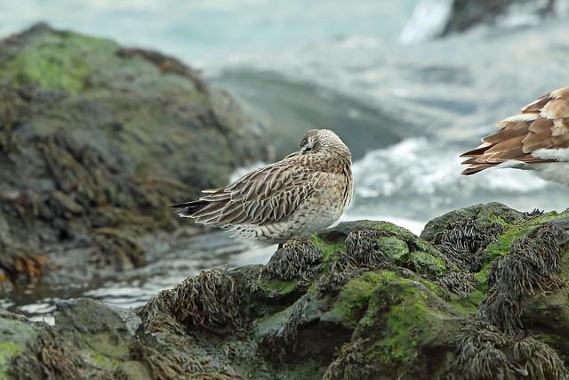 Bar-tailed Godwit, Elie, Fife, Scotland