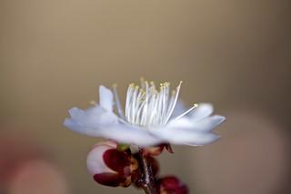 The Plum Flower
