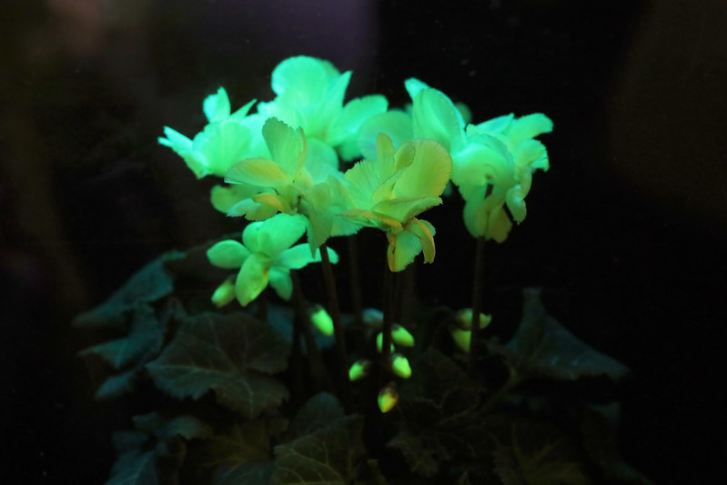 Fluorescent  cyclamen Genetic recombination 遺伝子組み換え 光るシクラメン