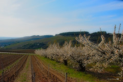 Cerisiers en fleurs , Irancy,Bourgogne - Photo of Coulanges-la-Vineuse