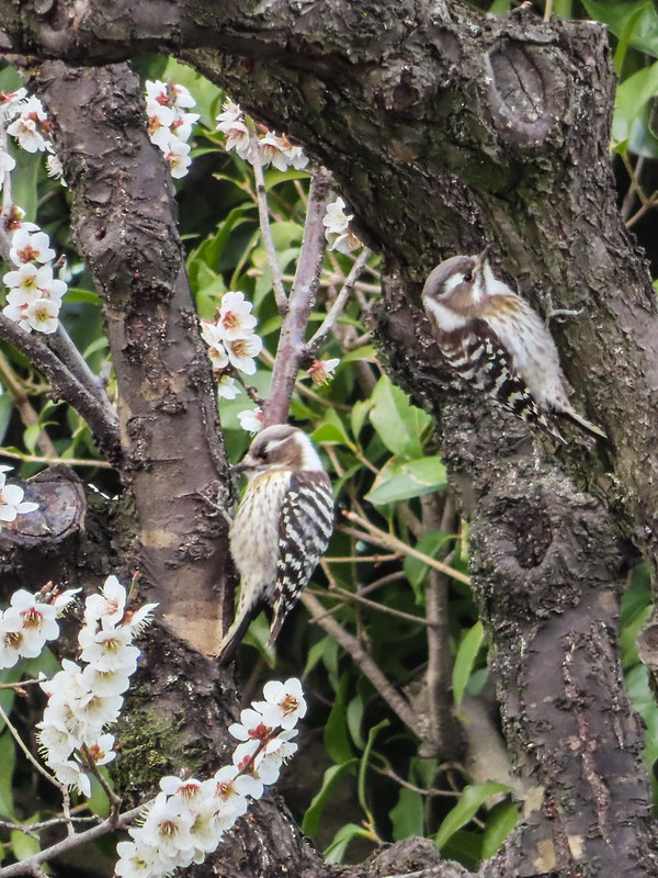 Grey-capped pygmy woodpeckers