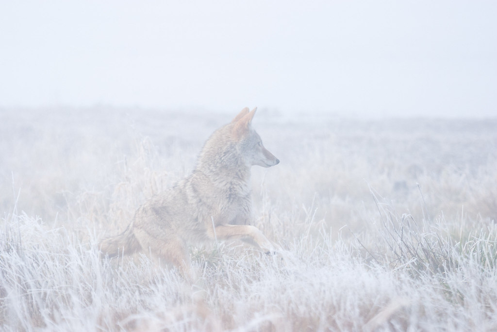 A coyote raises its pause in a foggy and frosty meadow at Ridgefield National Wildlife Refuge in December 2006