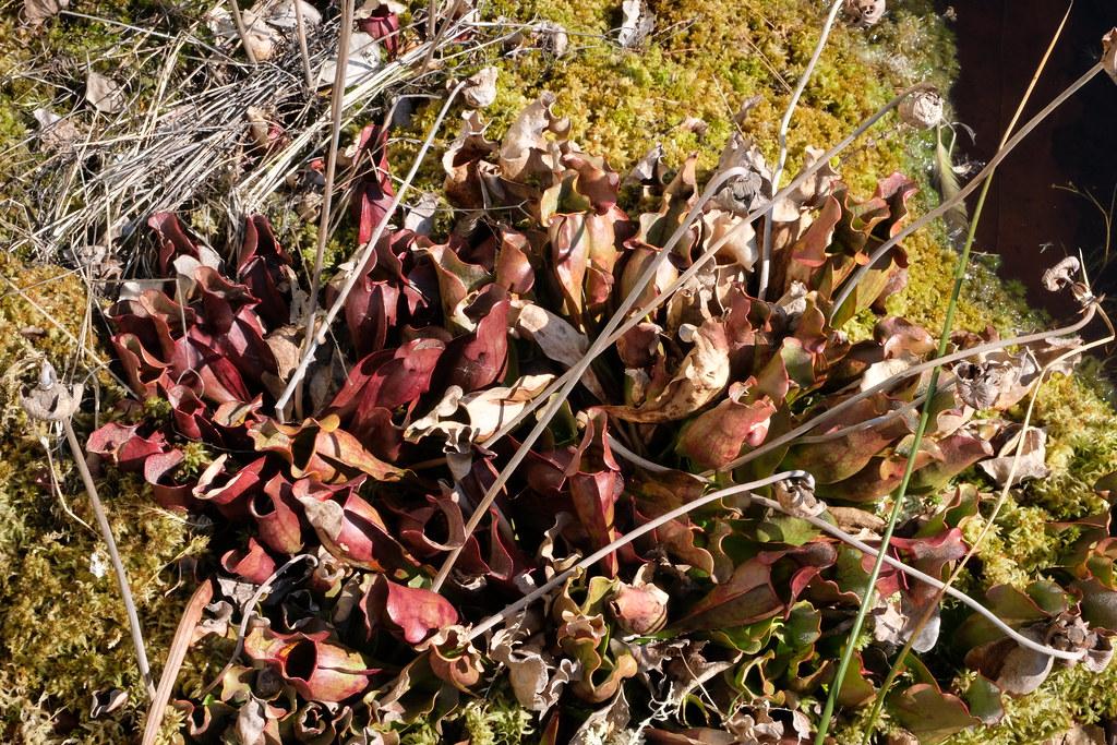 Sarracenie purpurea wisconsin