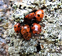 Ladybirds cling to lichen on a stone that has stood in Aberdeenshire for over 4,500 years
