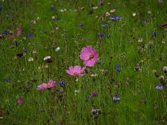 20080901 29022 1002 Jakobus Blumen blau lila - Photo of Saint-Jean-Soleymieux