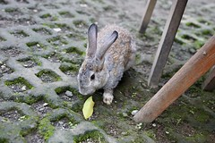 A rabbit joins us for dinner in Ubud