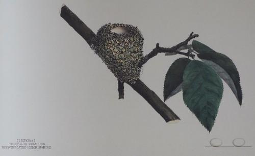Trochilus colubris -- Ruby-throated hummingbird
