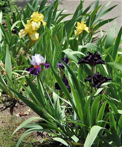 Iris - floraisons 2011 - Page 3 46283037245_daf29651e7