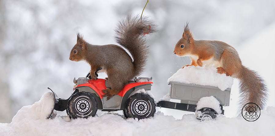 red squirrels standing  on a snowplough  quad and wagon