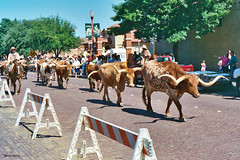 Longhorn Cattle in Parade, Frontier Forts Days