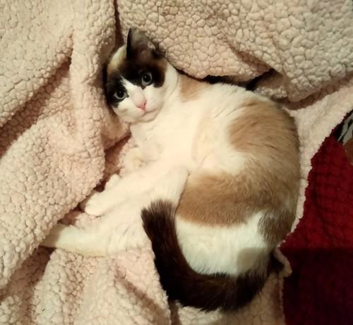 Dora, gata cruce Snowshoe dulce y habladora esterilizada, nacida en Marzo´18, en adopción. Valencia. 46503525774_1fb8bf0692