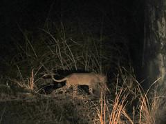 leopard2; s luangwa natl prk