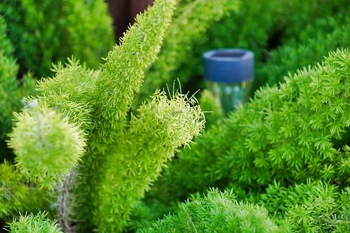 2019-02-22 - Nature Photography - Plants - Asparagus Foxtail Fern