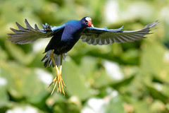 Purple Gallinule Landing