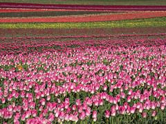 Champs de tulipes - Photo of Ganagobie
