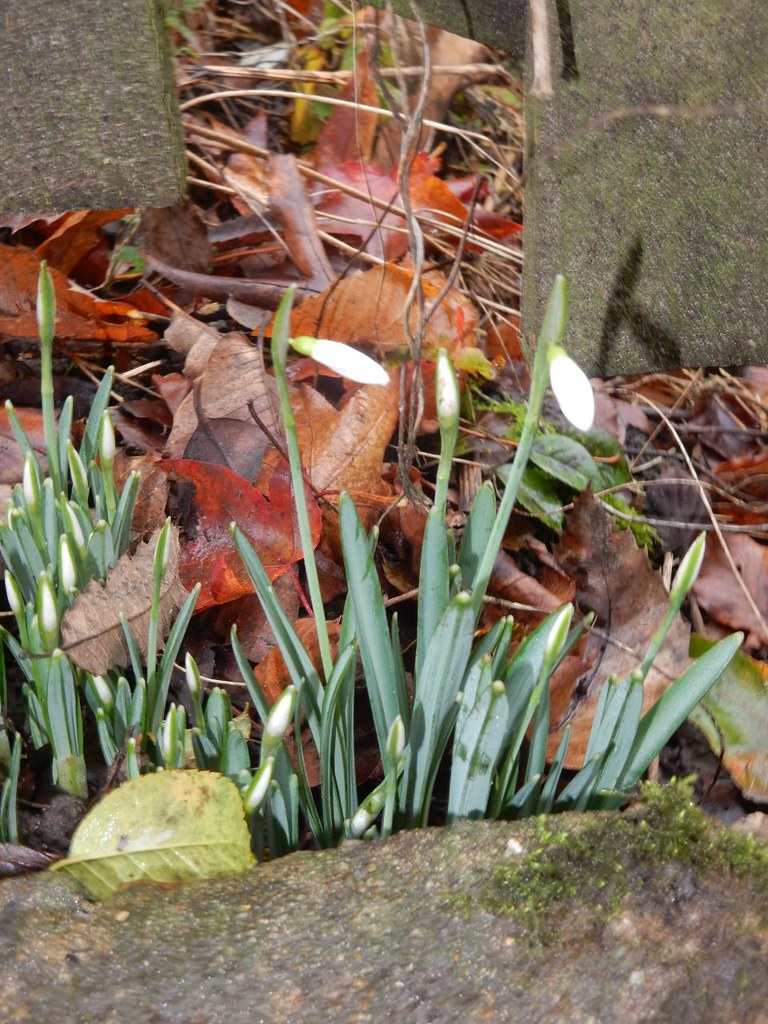 First(?) Snowdrops Edenbridge to Westerham
