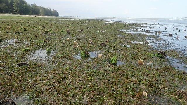 Fan shell clam (Family Pinnidae)
