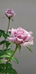 Rosa do meu jardim!