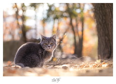 chat british shorthair - Photo of Le Broc