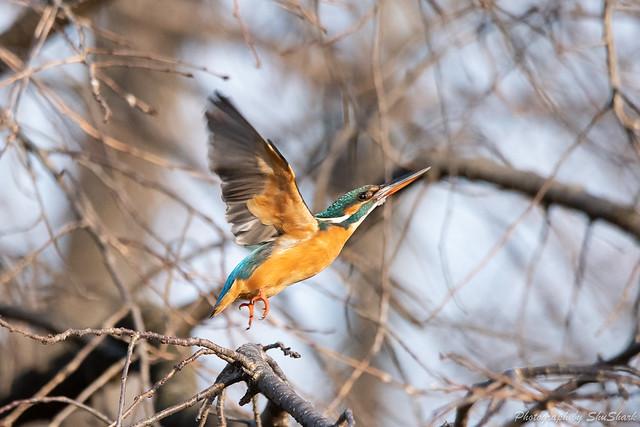 20190223-kingfisher-DSC_1626