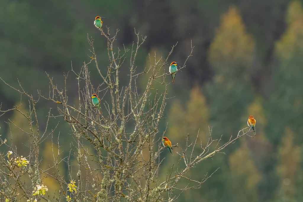 Nobody Believes Me That European Bee-eaters Grown On Trees!