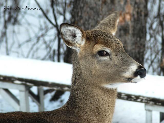 2019-01.white.tail.deer.4
