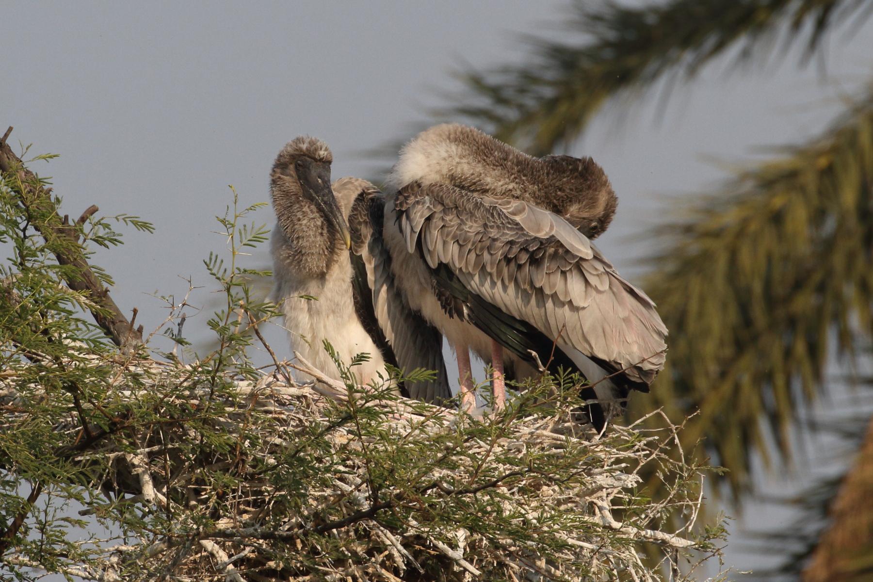 Nestlings of Painted Stork