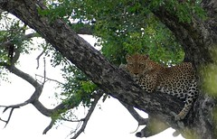 Leopard (Panthera pardus) male resting in a tree .....