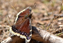 mourningcloak032419a