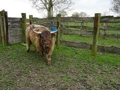 Allennes-les-Marais. Highland (race bovine) - Photo of Camphin-en-Carembault
