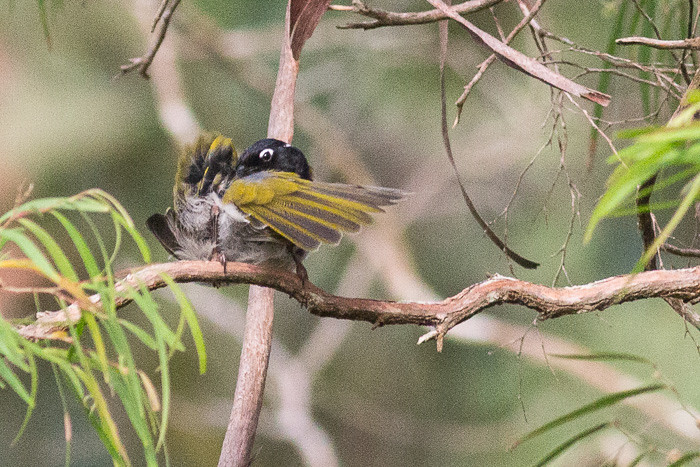 Gilbert's Honeyeater