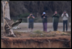 Eastern Osprey: Pleasing the Crowd