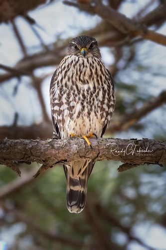 Merlin - Falco columbarius | 2019 - 1