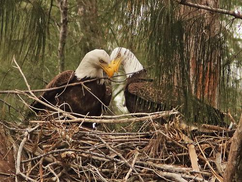 Bald Eagle 6203-20190125