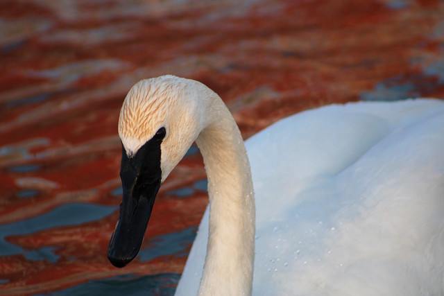 Trumpeter Swan at Sunset, Canon EOS REBEL T6I, Canon EF 75-300mm f/4-5.6 USM