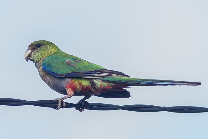 Red-capped Parrot  - juvenile