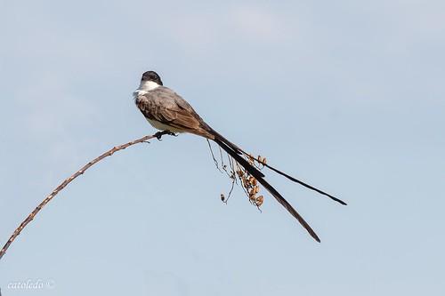 Tijereta - Fork-tailed Flycatcher