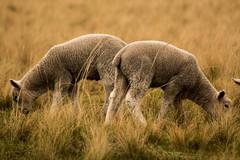 Lambs, New Zealand