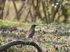 Photo:Pale thrush (Turdus pallidus, シロハラ) By Greg Peterson in Japan