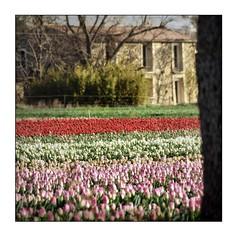 L'autre pays des tulipes (V) - Photo of Ganagobie