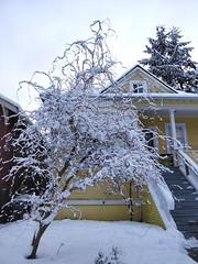 Snowy corkscrew hazel