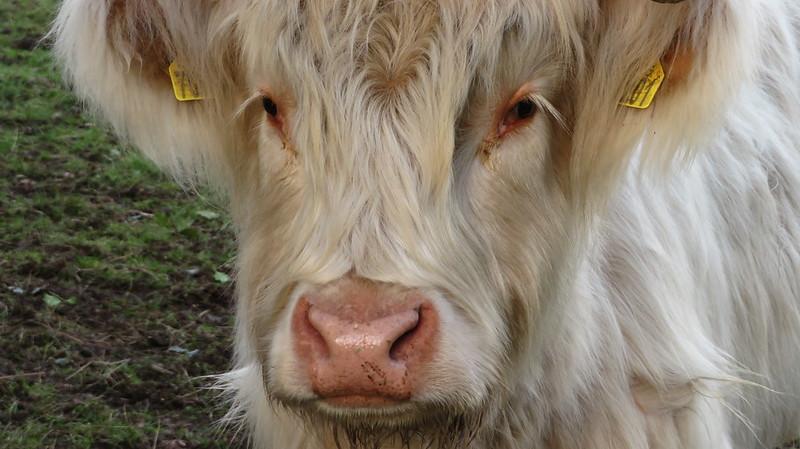 Cows at Deal Farm