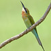 Blue-tailed Bee-eater (Merops philippinus) 栗喉蜂虎
