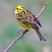 Yellowhammer.  Emberiza  Citrinella
