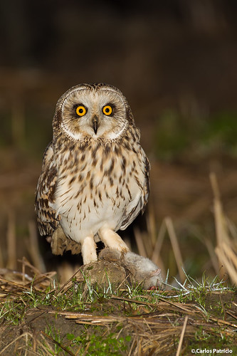 CORUJA-DO-NABAL | SHORT-EARED OWL (Asio flammeus)