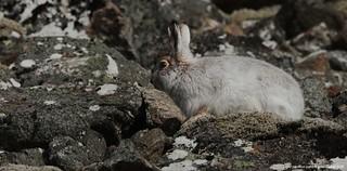 Pg193355 Mountain Hare